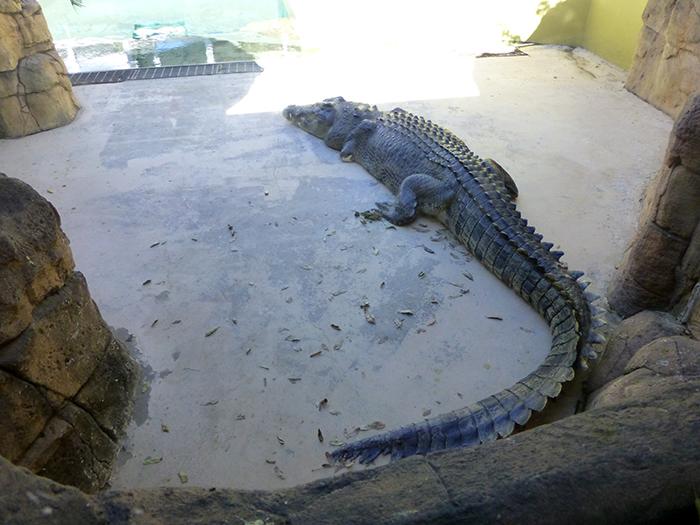 Krokodil06